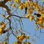 Three tui in kowhai